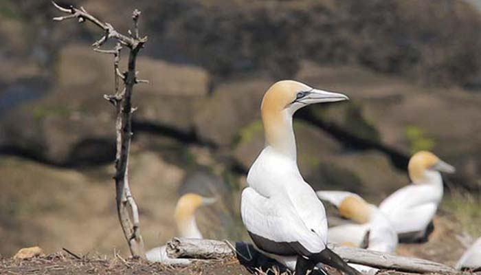 Muriwai Gannets and Beach Walk